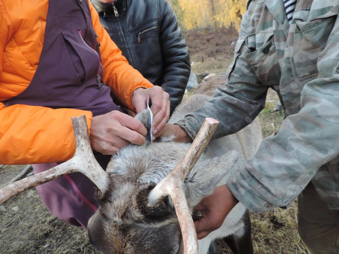 Reindeer blood sampling