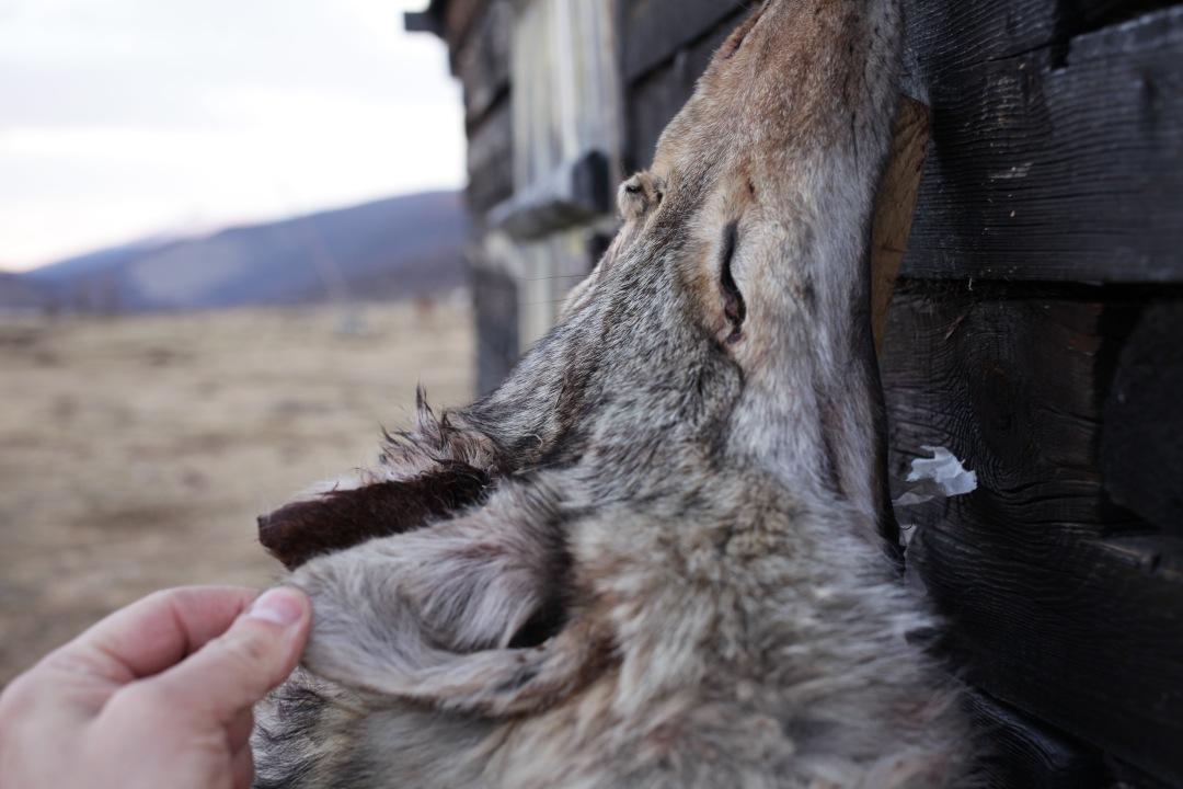 Yeterdays wolf